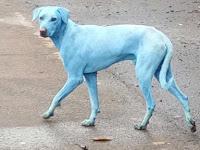 Warga Terkejut Melihat Anjing Berwarna Biru, Ternyata Inilah Penyebabnya