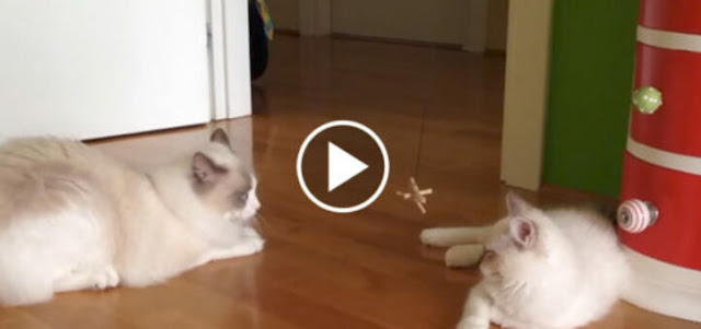 Kitten Arrives At New Home And Meets The Old Cat…They Never Knew This Would Happen