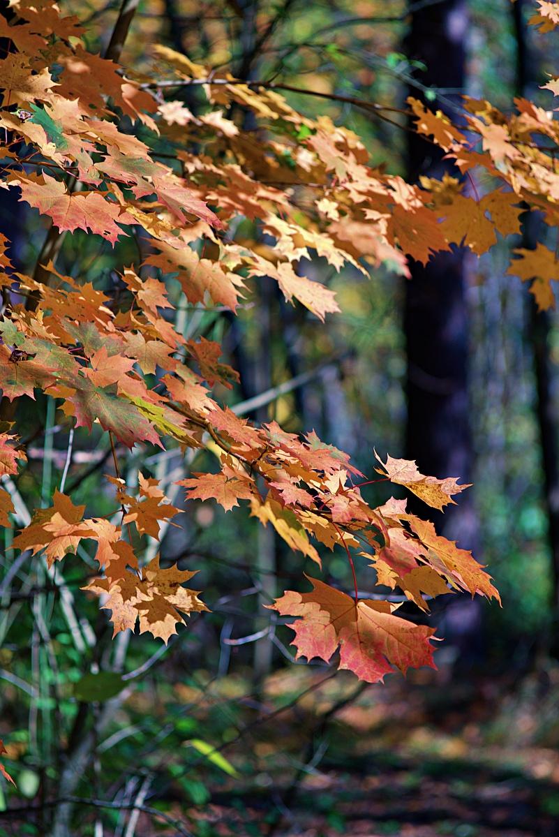 #292 Carl Zeiss Jena Sonnar f3.5 135mm – Herbstlaub