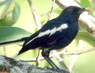 kacer borneo www.burung45.blogspot.com