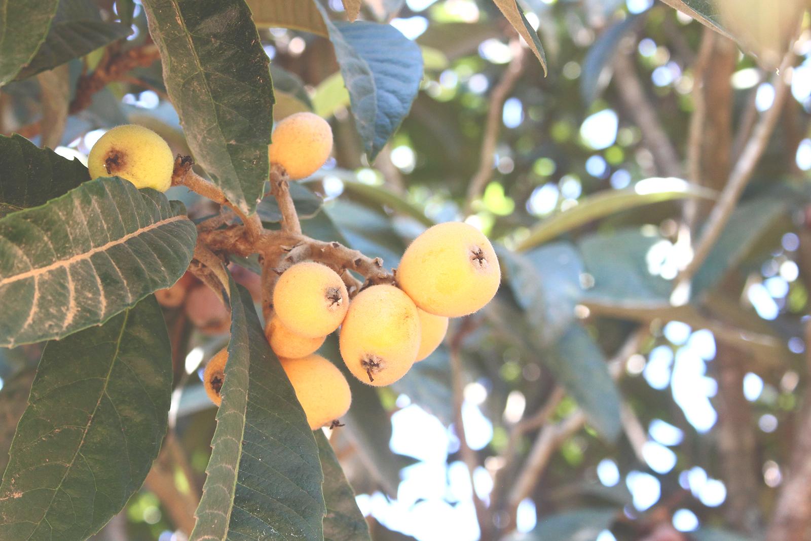 frutas pé árvore