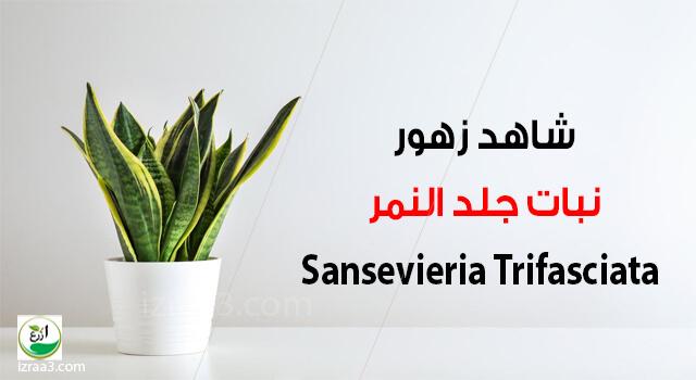 شاهد زهور نبات جلد النمر - Sansevieria Trifasciata