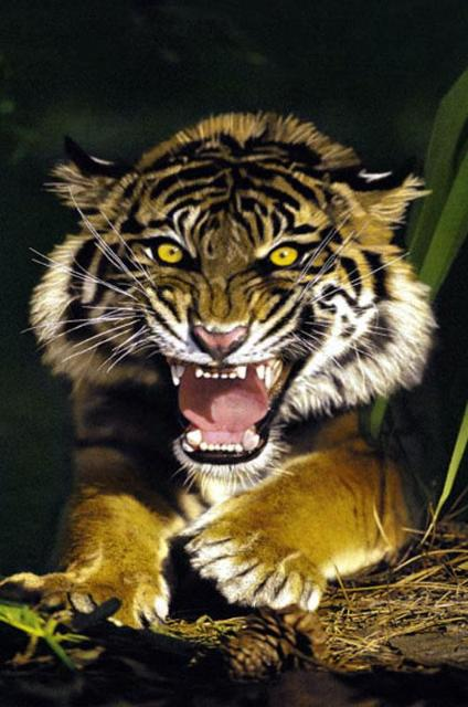 tigers in action pictures wallpaper amp pictures