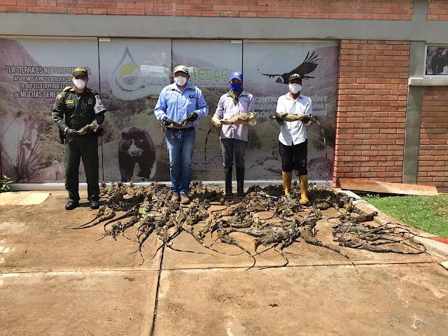 107 iguanas recuperó la Policía en el Cesar