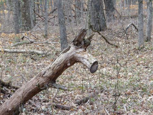 dead tree looks like animal