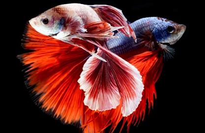 Cara ternak ikan cupang di ember