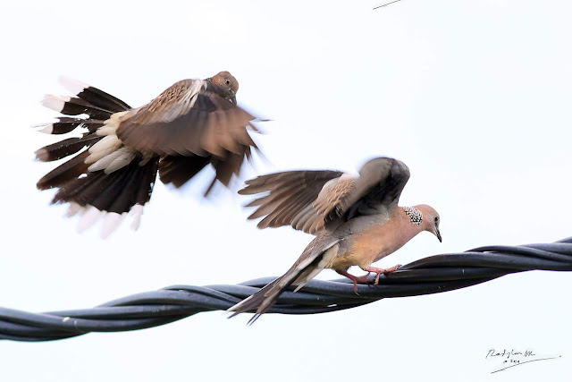 Spotted Dove courtship and mating copulation