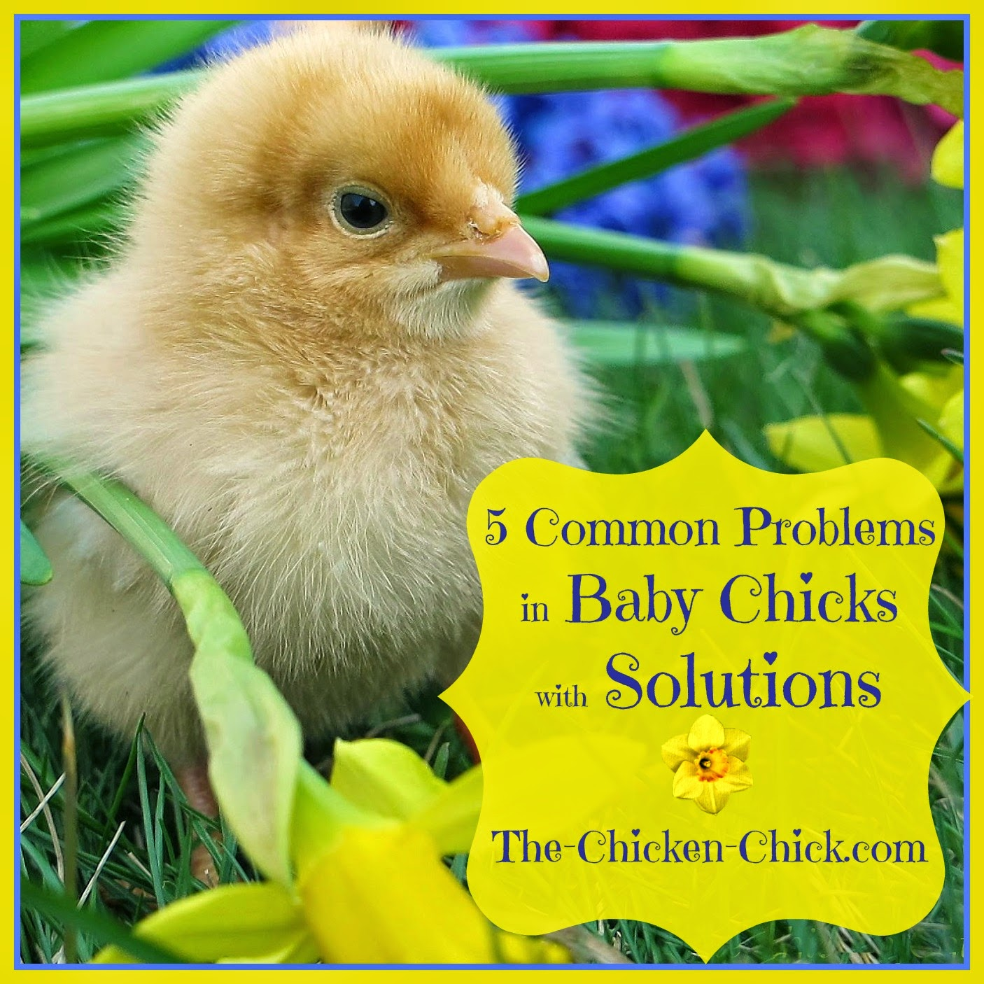 The five most common problems in baby chicks are all easily treated.