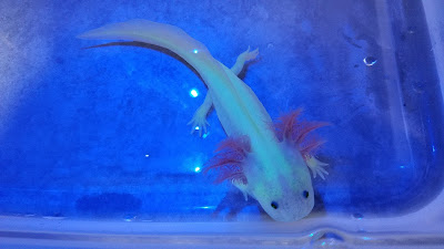 GFP leucistic axolotl glowing green under black light or blue lighting