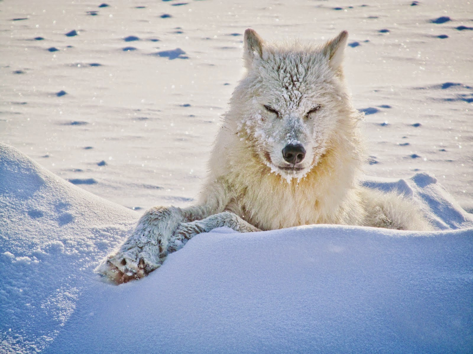 White Wolf 15 Photos Of The Most Amazing Animal In