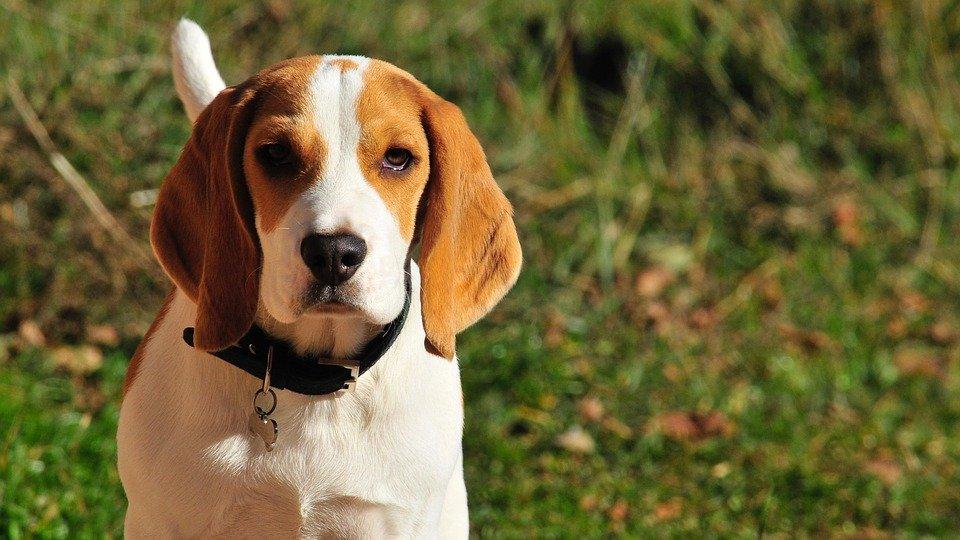 Cães conseguem farejar câncer no sangue de seres humanos