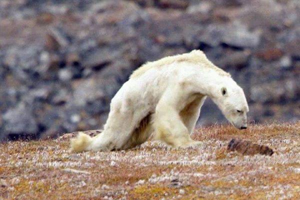 Когда ученые говорят, что белые медведи вымирают, мне бы хотелось, чтобы люди знали, как это выглядит!!!