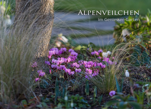 Alpenveilchen Im Garten : geniesser garten ~ Orissabook.com Haus und Dekorationen
