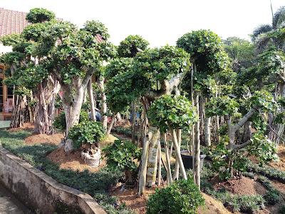 Jual bonsai beringin korea | Jual pohon bonsai - SuryaTaman
