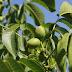 Μειωμένη θα είναι η παραγωγή καρυδιών λόγω χαμηλής καρπόδεσης αλλά και καρπόπτωσης στην Ημαθία