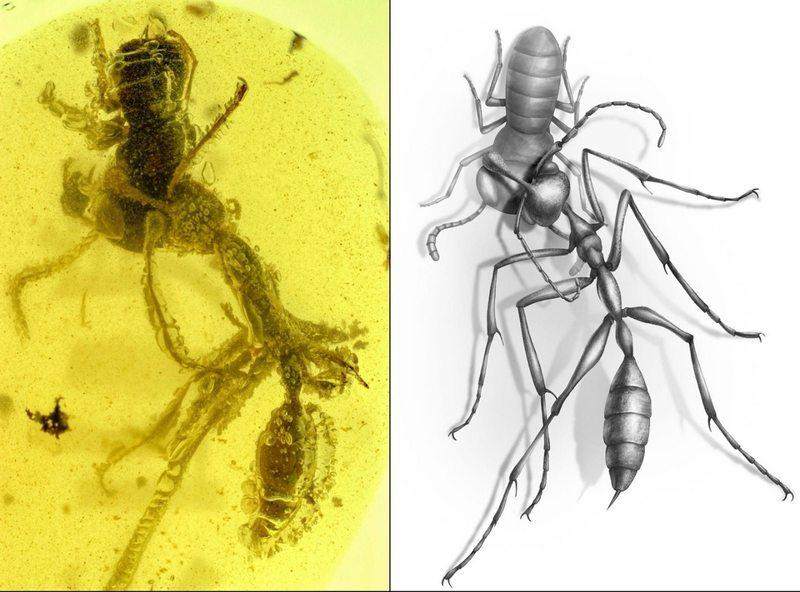 Impactante imagen de hormiga del infierno a punto de comerse a su presa quedó congelada en una gota de ámbar