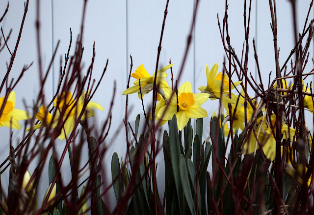 Daffodils with the red branches of a dormant bush in the foreground.