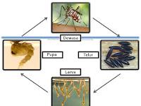 Ciri-ciri, Siklus, dan Habitat Nyamuk Aedes aegypti
