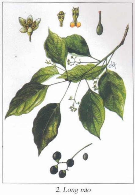 Cây Long Não - Cinnamomum camphora - Nguyên liệu làm thuốc Chữa Tê Thấp và Đau Nhức