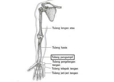 Gambar Tulang Pengumpil