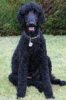 razas de perros medianos poodle