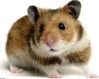 Jenis-Jenis Hamster dan karakteristiknya