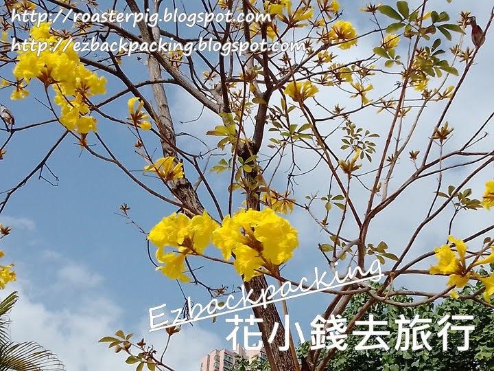 青衣公園黃花風鈴木