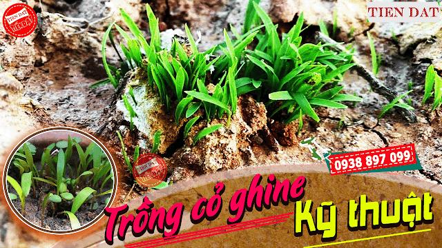 Hướng dẫn kỹ thuật trồng cỏ ghine đầy đủ và chi tiết nhất