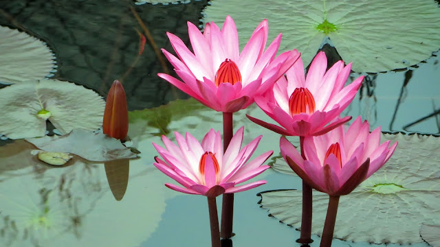 Pink water lily lotus with leaves 4k HD flowers Wallpaper