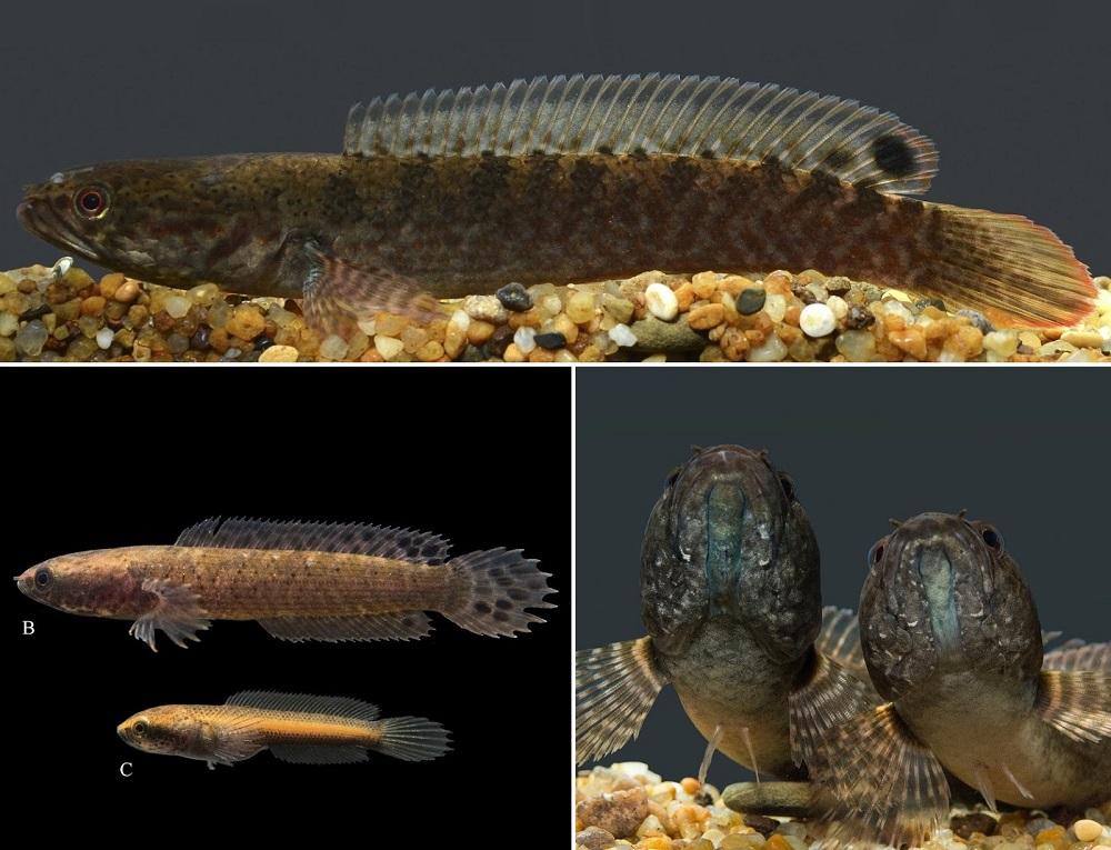 Channa rara - 50 Jenis Ikan Channa Beserta Harga Terbaru