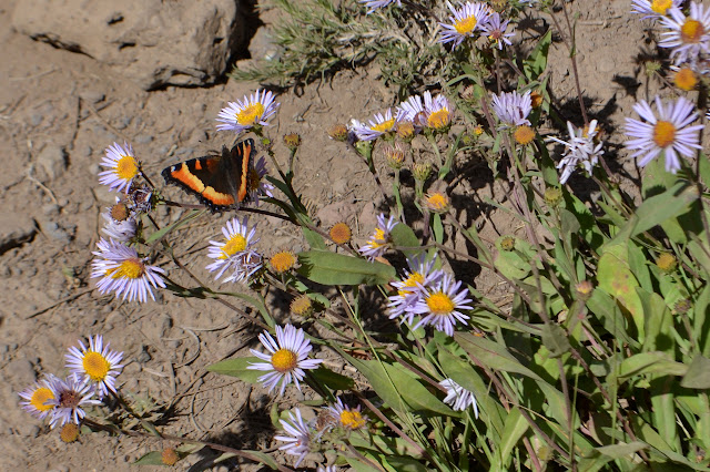 butterfly among the daisies
