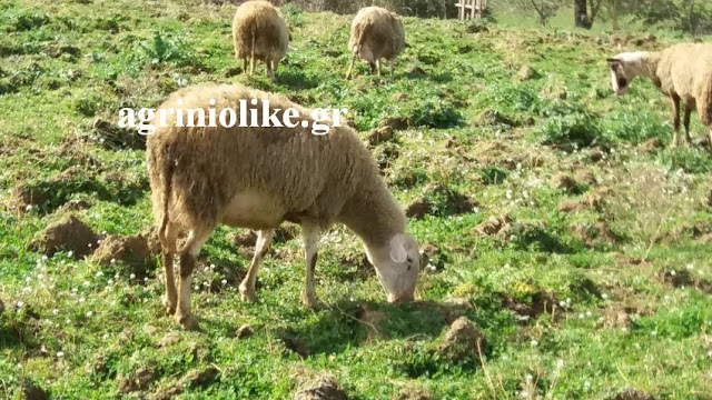 Μεσολόγγι :Έκλεψαν 10 πρόβατα από αγροτεμάχιο στον Άγιο Γεώργιο ...