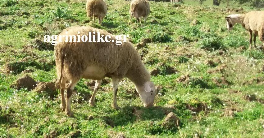 Αποτέλεσμα εικόνας για AGRINIOLIKE  ΒΙΟΛΟΓΙΚΗ