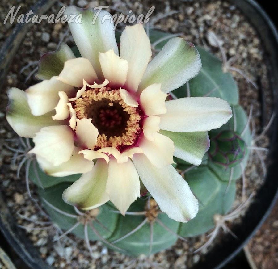 Floración del cactus Gymnocalycium pflanzii