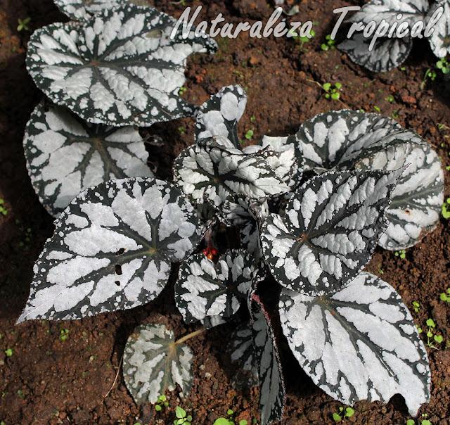 Begonia con hojas verde-oscuras con grandes manchas blancas