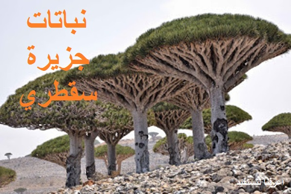 نباتات جزيرة سقطري