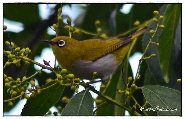 Close Uo, Oriental White Eye, Himachal