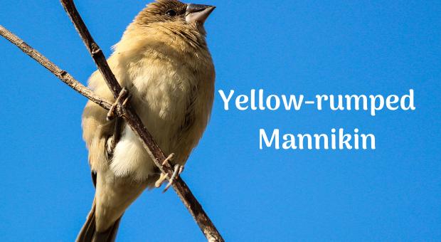 Yellow-rumped Mannikin