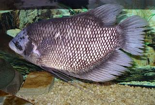 Osphronemus goramy 2008 G1