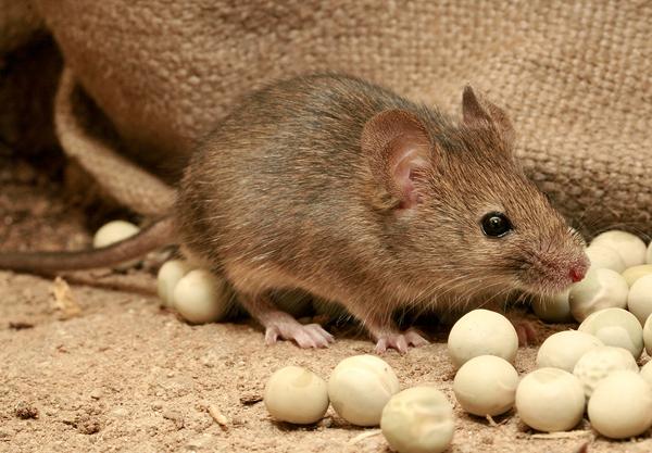 Rüyada fare görmek ne demek? ölü fare, beyaz fare, rüyada siyah büyük fare yakalamak, kapanı, yemek, fare ısırması ne anlamı nedir?
