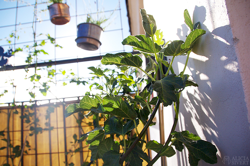 aliciasivert alicia sivert sivertsson odla på balkong balkongodling odling trädgård inspiration inreda inredning kruka krukor det norske hageselskap hage på balkongen fikon fig tree fikonträd