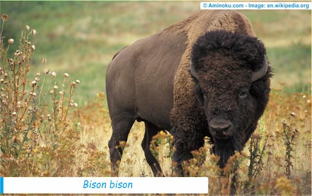 Fakta unik bison