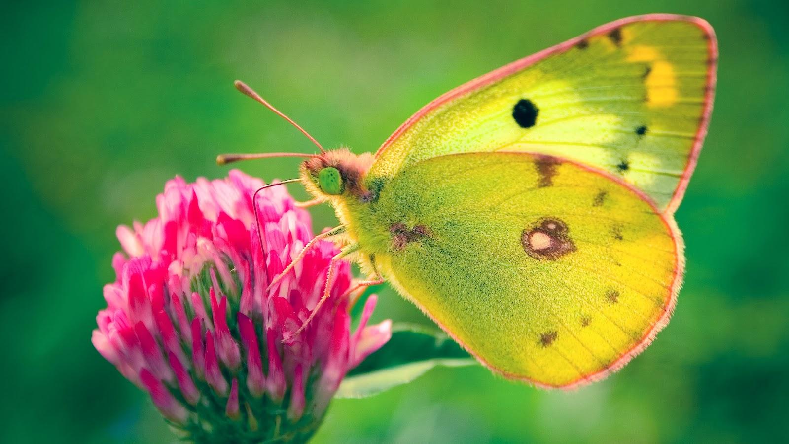 menakjubkan-kupu-kupu-hd-wallpaper