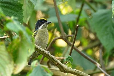 Western green Tinkerbird