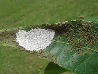 Walnut caterpillar first instar larvae and egg mass