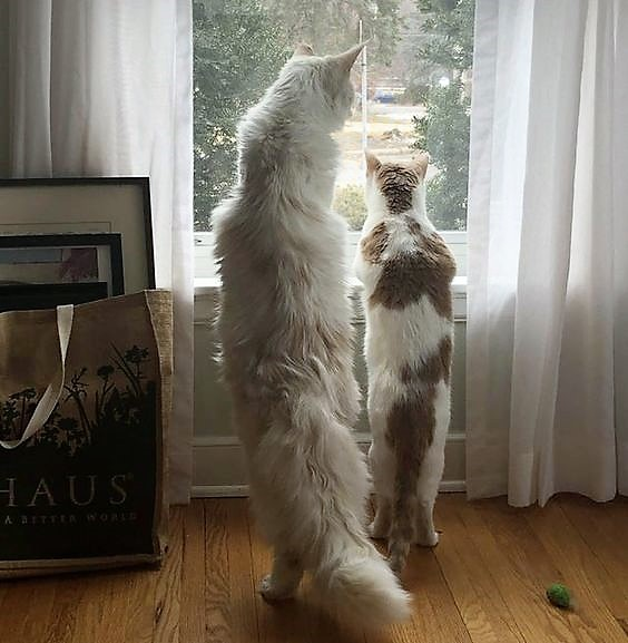 Picture of a Maine Coon looking out of the window