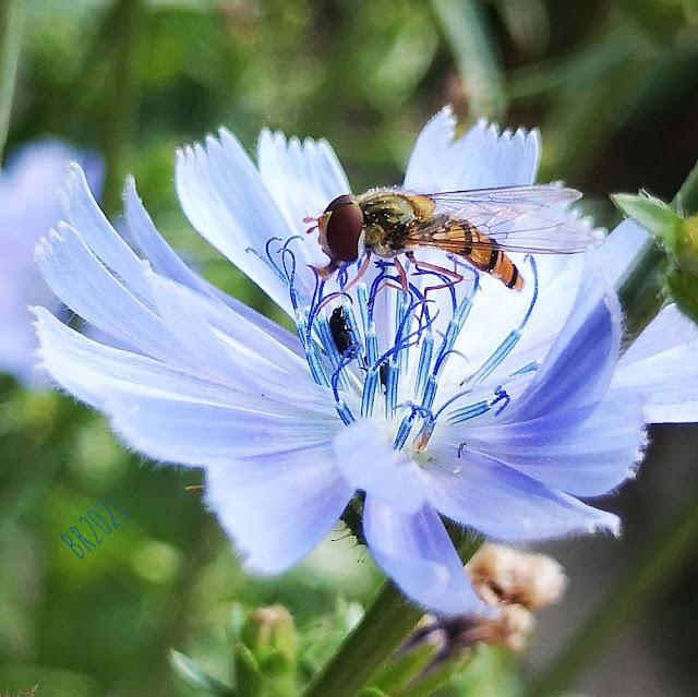 Schwebfliege auf wegwartenblüte