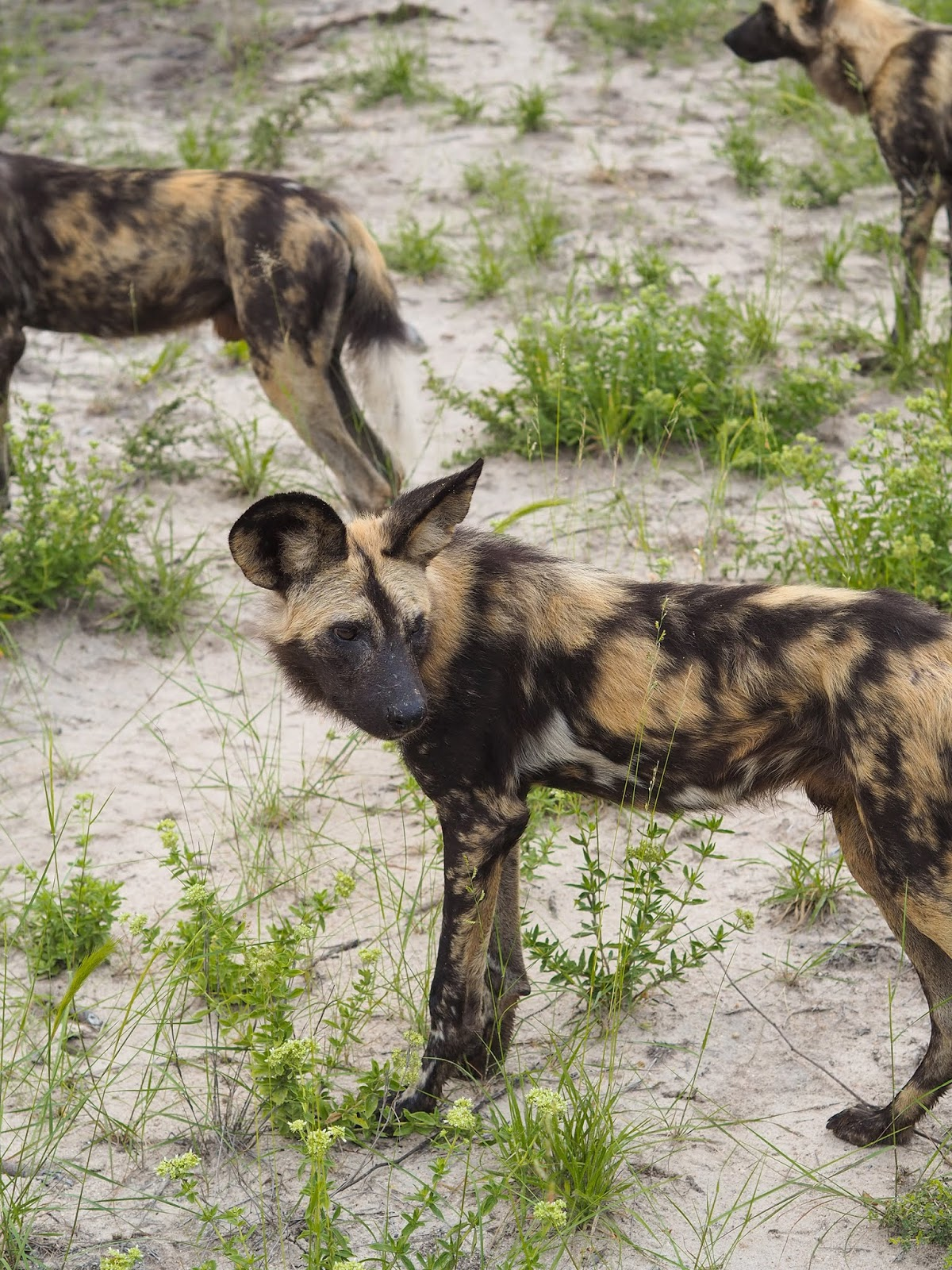 Euriental | luxury travel & style | Sabi Sands South Africa, wild dogs