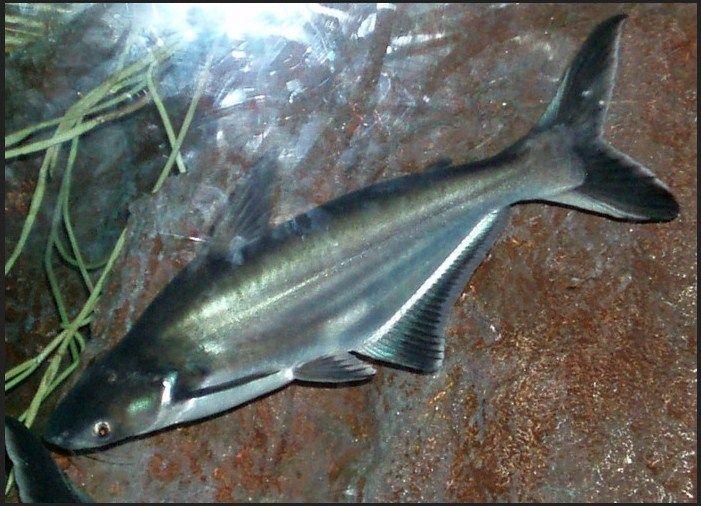 umpan mancing ikan patin kolam