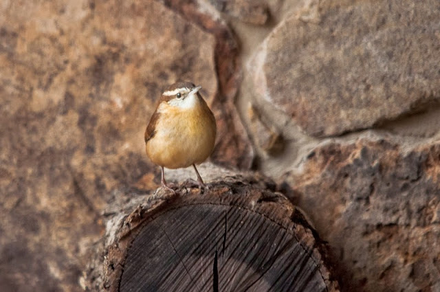 Carolina Wren on woodpile